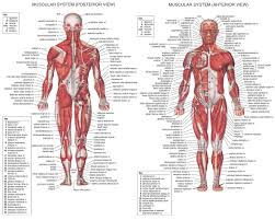 Want to build a stronger and sharper triceps? The Human Body Muscles