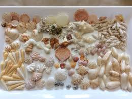 sea shells collection there are lots of seashells to collect picture of pullman cayo