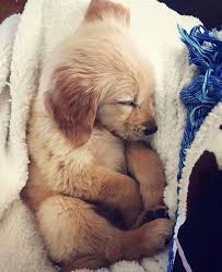 golden retriever puppies sleeping. Delighful Puppies Sleeping Beauty U2026 I Love Dogs Cute Baby Puppies With Babies Intended Golden Retriever