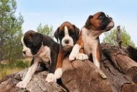 Boxer Puppy Weight Chart Boxer Information Center Newborn Puppy Care