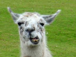 Image result for happy llama