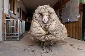 خروف في أستراليا ارتاح من 35 كيلوغراماً من الصوف - جريدة الغد