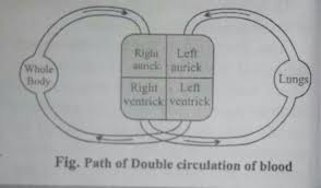 Double Circulation Flow Chart What Is A Double Circulation Explain With The Schematic