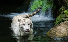white tiger with blue eyes in snow. Fine Snow Snow Blue Eye Leopard  White Tiger Beautiful And With Eyes In E