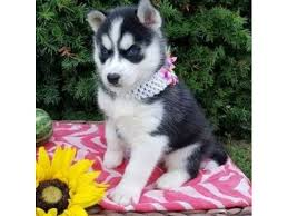 husky puppies for sale.  For Blue Eyes Siberian Husky Puppies For Sale To Husky Puppies Sale U
