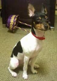 Rat Terrier Size Chart Rat Terrier Dog Breed Information And Pictures