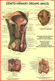 Male Reproductive Organ Chart