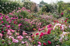 garden roses. The Long Garden Roses