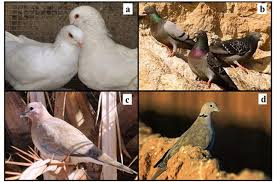 Parasitic infection status of different native species of Columbidae family  in southwest of Iran