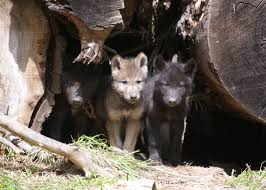 black wolf and white wolf pups. Contemporary Pups Black Wolf And White Pups  Photo19 To Wolf And White Pups E