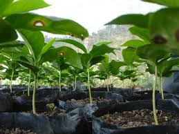 A wide range of international property to buy in south africa with primelocation. Plants Types Growing Areas The Coffee Plant Coffea Arabica Coffea Caneph Dethlefsen Balk Tea Coffee Confiserie Accessories