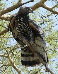 Crowned Eagle Wikipedia