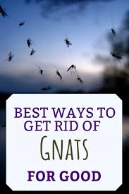 Fungus Gnats Attracted To Light What Causes Gnats And How To Get Rid Of Them Dengarden
