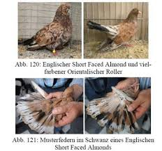 Roller Pigeon Color Chart Almond Breeding