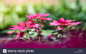 Rosa Blume Gartenweihnachtsstern Rosa Blumen Blühen In Den