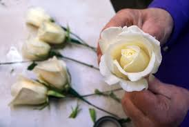butch egys staff photographer white roses are prepared for valentine s day at mccarthy remick flowers on north main avenue in scranton