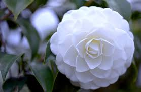 40 Camellia HD Wallpapers