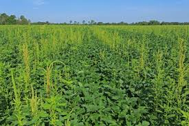 Palmer Amaranth Palmer Amaranth A New Weed Threat To Watch Out For