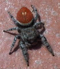 Spider Identification Chart California Spider Id Spider Identification Identify Spiders