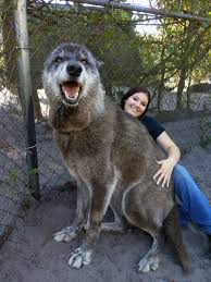 """Im the <b>girl</b> from the """"giant"""" <b>wolf</b> post. Here's another one of our ..."""