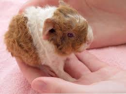 guinea pigs harbor a hidden health hazard