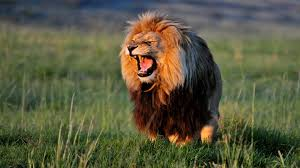 african lion dangrous hd free wallpapers