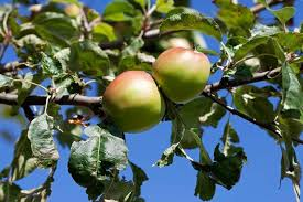 What Are The Best Fruit Trees To Grow For CordonsFruit Tree Cordons