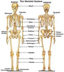 human skeleton  s   health anatomy diagramsskeletal system diagram for kids information