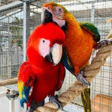 scarlet macaw eggs uk pars