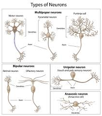 The Neuron External Structure And Classification