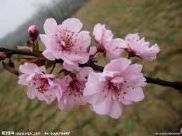 National Flower Series–East Asia 5–Taiwan Republic of China– Prunus Mume