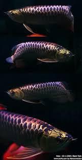 126 Best Arowana Images Dragon Fish Freshwater Fish