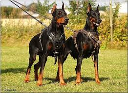 pitbull dog vs doberman. Interesting Doberman Pitbulldoberman Mix Dogs Average Size  Doberman H1_1 H11073 Leather  Agitation Dog Harness  5490  Dog  Inside Pitbull Vs L