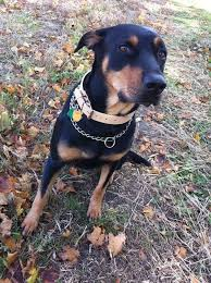 black and brown terrier mix. Perfect Black Doberman Lab Mix With Black And Brown Terrier Mix L