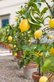 lemon tree x: potted lemons potted lemons potted lemons