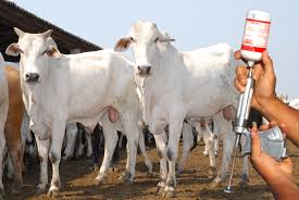 Resultado de imagem para vacinando o gado