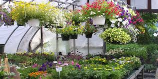 hanging plants 6 packs potted annuals