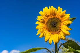 Image result for sunflower image