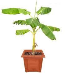 Image result for kela plant