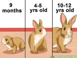 Rabbit Growth Rate Chart How To Tell The Age Of A Rabbit 10 Steps With Pictures