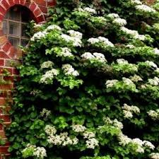 Powojnik Clematis Jackmanii  Patio Garden  Pinterest  Clematis Climbing Plant For Shade