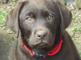 female chocolate lab. Interesting Lab One Female Chocolate Labrador Puppy For Sale Intended Lab E