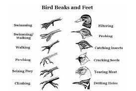 Bird Beak Chart The Remarkable Adaptations Of Birds To Their Environment