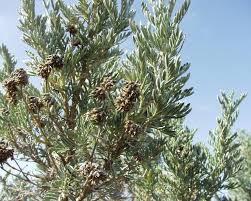 Anthyllis barba-jovis - Wikispecies