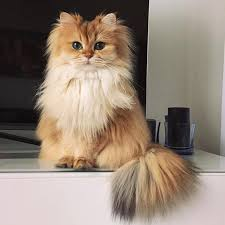 cute fluffy cats tumblr. Wonderful Tumblr Reposting Smoothie The Cat Since My First One Was Deleted For Giving Credit  To Owner Cats TumblrAnimal TumblrFluffy  For Cute Fluffy Tumblr T