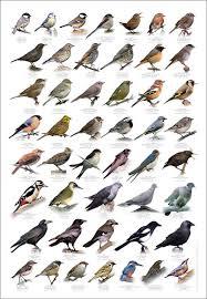 British Birds Identification Chart Wildlife Poster New In