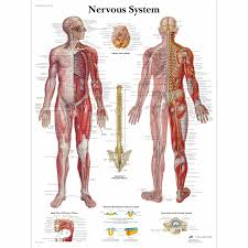Acupuncture Chart Poster Nervous System Chart
