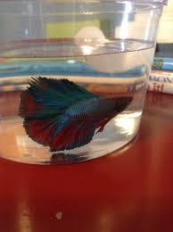 petco betta fish. Unique Petco Looks Just Like Our Rambo Rainbow  Double Tail Betta Fish From Petco For Betta Fish