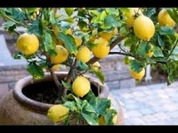 Caring For Citrus Trees  The Home Depot CommunityHow Often Should I Water My Fruit Trees