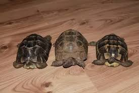 Russian Tortoise Age Size Chart How Is The Age Of A Tortoise Determined Quora